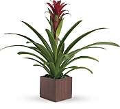 Bromeliad Beauty Plants
